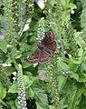 Butterfly 7-29 (4841732260).jpg