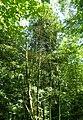 Buxus colchica kz1.jpg