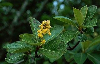 <i>Byrsonima crassifolia</i> species of plant