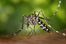Cамка комара Aedes albopictus, начинающая пить кровь.