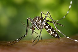 http://upload.wikimedia.org/wikipedia/commons/thumb/b/b6/CDC-Gathany-Aedes-albopictus-1.jpg/250px-CDC-Gathany-Aedes-albopictus-1.jpg