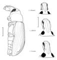 COLE Curculionidae Listroderes delaiguei 2.png
