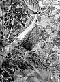 COLLECTIE TROPENMUSEUM Bijenzwerm te Dampar Oost-Java TMnr 10013406.jpg