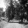 COLLECTIE TROPENMUSEUM De pasweg van Saradan naar Solo omgeven door tjemara's TMnr 10006179.jpg
