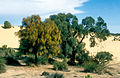 CSIRO ScienceImage 4186 Sheok trees on the Cooke Plains southeast of Tailem Bend South Australia 1992.jpg