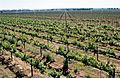 CSIRO ScienceImage 4710 McWilliams Wines vineyards at Hanwood near Griffith NSW.jpg
