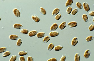 Cryptomonad - Cryptophytes under light microscope