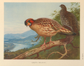 Cabot's Tragopan by Archibald Thorburn.png