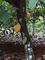 Cacao fruit in Côte d'Ivoire (6).JPG