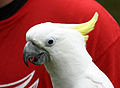 Cacatua galerita -Cincinnati Zoo, Ohio, USA -head-8a.jpg