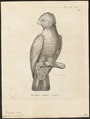 Cacatua roseicapilla - 1700-1880 - Print - Iconographia Zoologica - Special Collections University of Amsterdam - UBA01 IZ18600021.tif