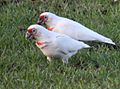 Cacatua tenuirostris -Brisbane-two-8.jpg