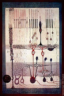 S. Ramón y Cajal, Structure of the Mammalian Retina, 1900.
