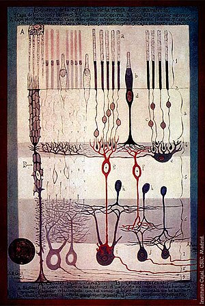 Visual system - S. Ramón y Cajal, Structure of the Mammalian Retina, 1900