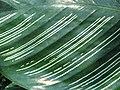 Calathea ornata 'Sanderiana' Kalatea 2010-08-01 03.jpg