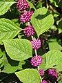 Callicarpa americana (24976139485).jpg