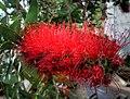 Callistemon citrinus var. splendens 'Crimson bottlebrush' (Myrtaceae) flower HDR.jpg