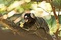 Callithrix jacchus, Parque Estadual Serra da Cantareira Horto Florestal 01.jpg