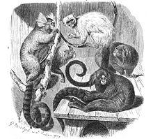 http://upload.wikimedia.org/wikipedia/commons/thumb/b/b6/Callitrichidae-drawing.jpg/220px-Callitrichidae-drawing.jpg