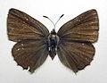 Callophrys rubi dorsal.jpg