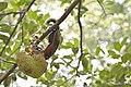 Callosciurus erythraeus thaiwanensis (34345563213).jpg