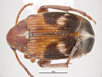 Callosobruchus maculatus - Female