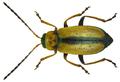 Calomicrus circumfusus (Marsham, 1802).png