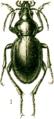 Calosoma usgentensis.png