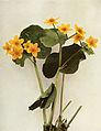 Caltha palustris WFNY-059.jpg