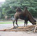Camelus bactrianus in Zoo Krefeld (4).JPG
