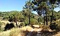 Camino por los pinares 1 (ruta Daganzo-Narros) - panoramio.jpg