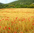 Camp de blat prop de Mosqueroles, Vallès Oriental - panoramio.jpg