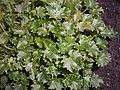 Campanula portenschlagiana 2017-09-26 4560.jpg