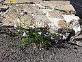 Campanula rotundifolia sl23.jpg