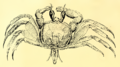 Cancer ceratophthalmus Pallas, 1772 b.png