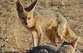 Cape Foxes (Vulpes chama) (6564399131).jpg