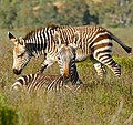 Cape Mountain Zebras (Equus zebra zebra) mare and foal ... (32731197471).jpg