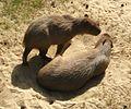 Capibara apenheul.jpg