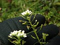 Capsella bursa-pastoris 109927620.jpg