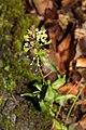 Capsella bursa-pastoris 110297520.jpg
