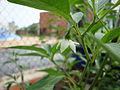 Capsicum frutescens (5).JPG