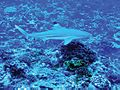 Carcharhinus melanopterus palmyra.jpg