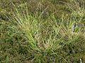 Carex binervis habitus.jpg