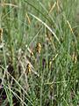 Carex limosa Oulu, Finland 12.06.2013.jpg