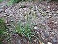 Carex pallescens inflorescens (23).jpg