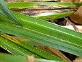 Carex pendula leaf (1).jpg