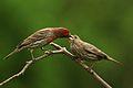 Carpodacus mexicanus -John Heinz National Wildlife Refuge at Tinicum, Pennsylvania, USA-8.jpg
