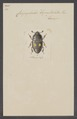 Carpophilus - Print - Iconographia Zoologica - Special Collections University of Amsterdam - UBAINV0274 017 05 0030.tif