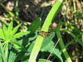 Carterocephalus palaemon - Chequered skipper - Палемон (26130809017).jpg