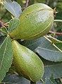 Carya glabra immature fruit.jpg